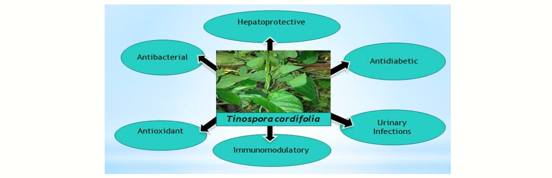 Morphology, Biological Activity, Chemical Composition, and Medicinal Value of Tinospora Cordifolia (willd.) Miers